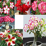 Flower Pots Planters Adenium Obesum Seeds Rainbow Desert Rose Seeds Bonsai Plants Seeds Home & Garden 200 Seeds Bag